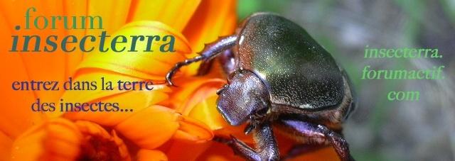 INSECTERRA: Forum Insectes & Entomologie - La terre des insectes
