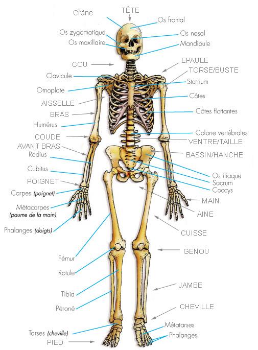 Le squelette for A l interieur du corps humain