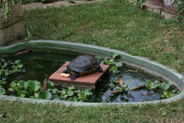 Awesome bassin de jardin tortue pictures design trends for Bassin exterieur pour tortue