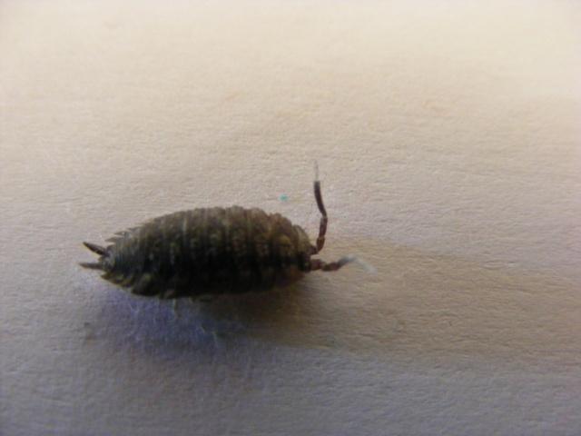 Porcellio scaber quel est son petit nom le monde des insectes - Insecte maison humidite ...