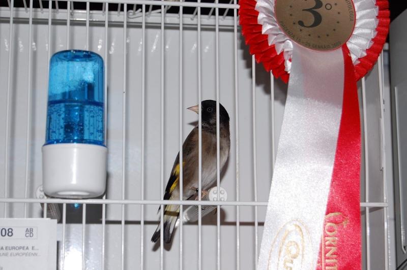 oiseaux tarin venezuela
