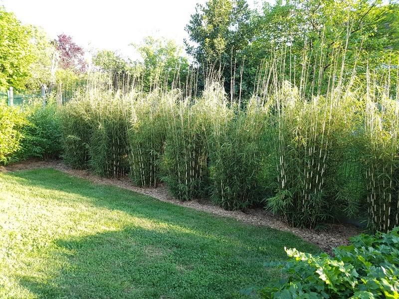 haie de bambou non traçant