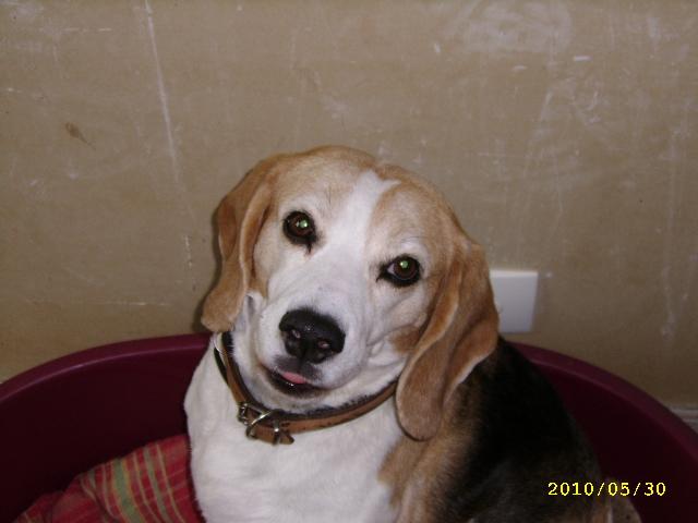 Rafia tr s jolie beagle femelle adulte 10 ans 61 - Beagle adulte ...