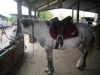 Lézard est un superbe poney gris.
