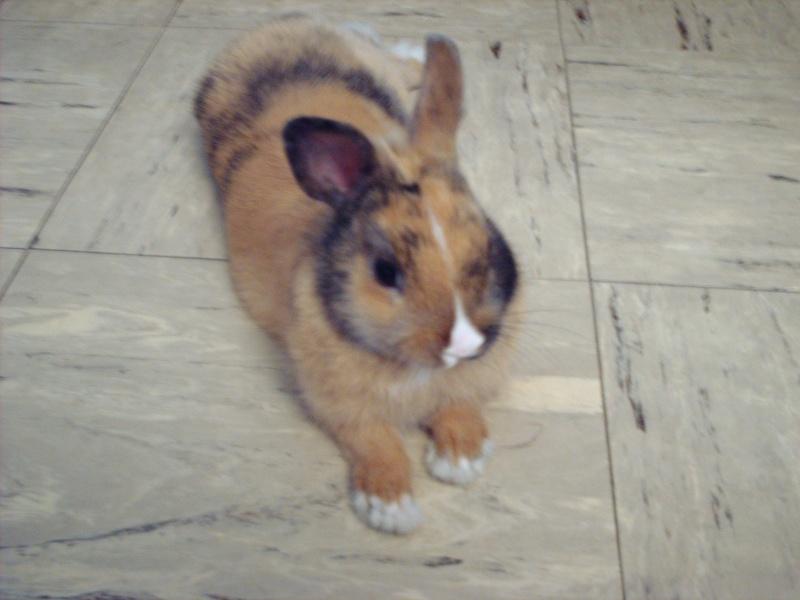 Quel taille font les oreilles d'un lapin nain