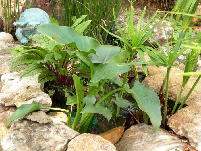 Notre bassin pour tortues page 2 - Plantes filtrantes bassin rennes ...