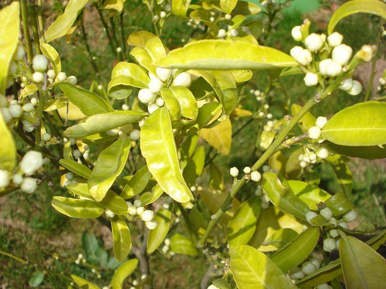 Cl mentinier - Oranger du mexique feuilles jaunes ...