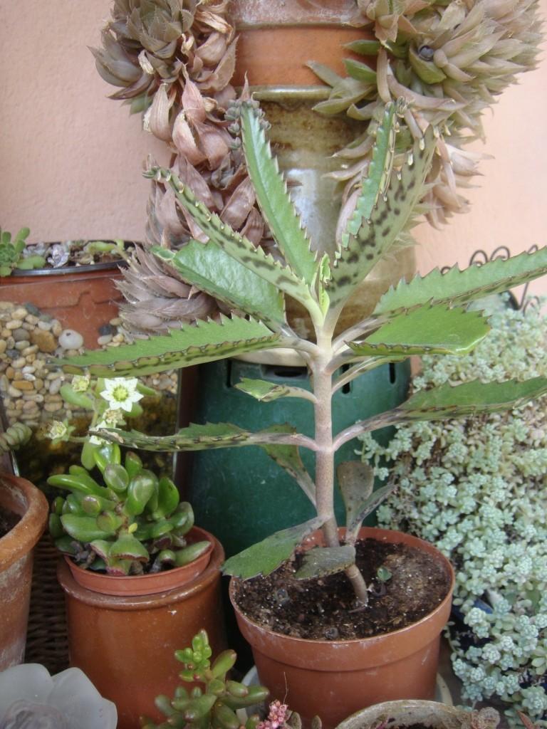 plante grasse meurt