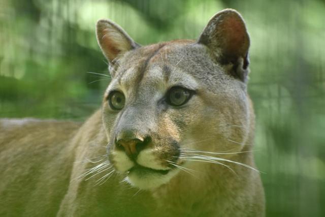 Cougar datant documentaire ce qui se passe après deux mois de datation