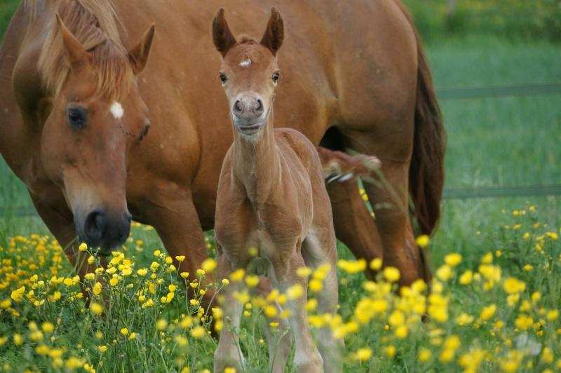Poitou Caval'
