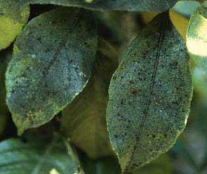 Plagas y enfermedades for Enfermedades citricos fotos