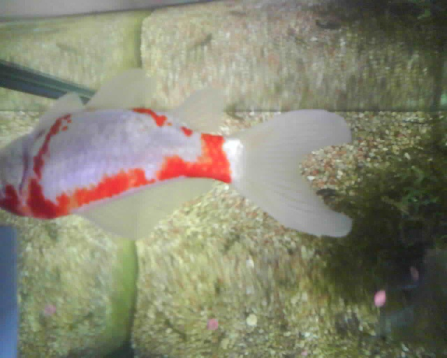 Poisson rouge tr s malade for Poisson rouge a donner