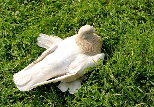 Бойные голуби разных пород, любители голубей, присоединяйтесь!