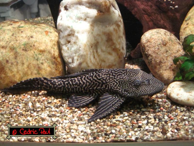 Hypostomus plecostomus pleco for Nettoyeur aquarium poisson