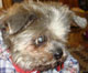 <font color = blue>ROSY (femelle shi-tsu environ 12 ANS) - aveugle - en FA chez Chantal </FONT>