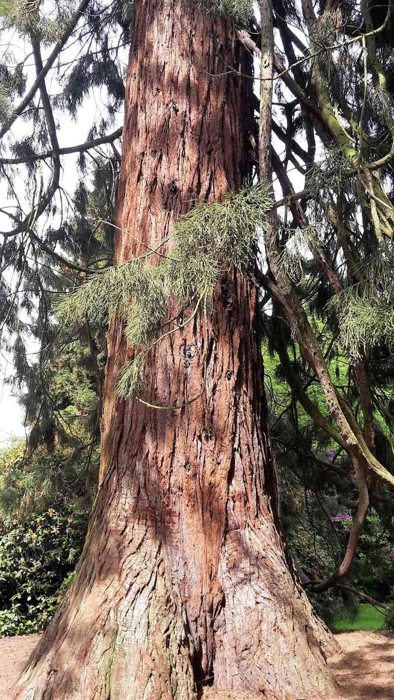 sequoi11.jpg