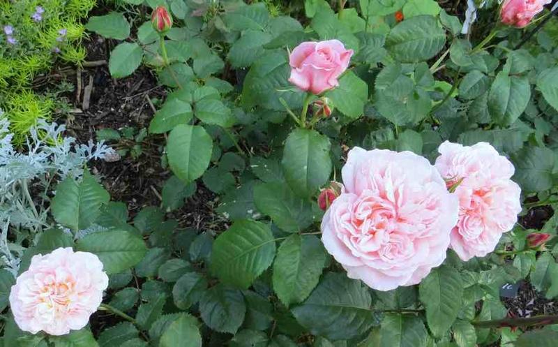 rose_d11.jpg