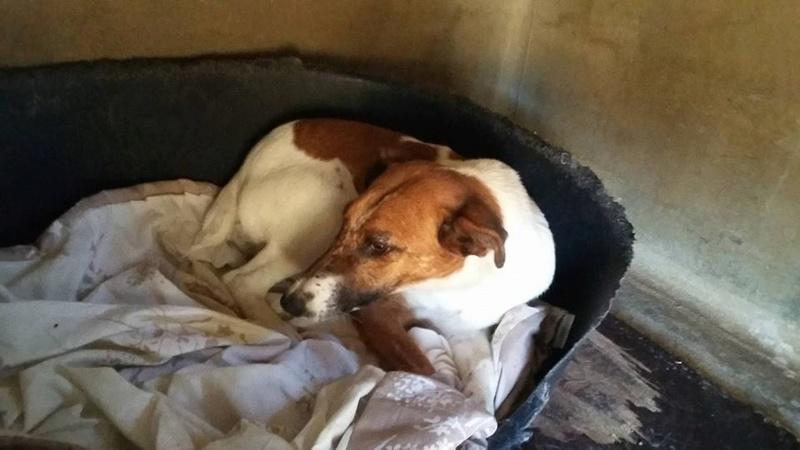 hoggy fox terrier poil lisse 6 ans spa de poitiers 86. Black Bedroom Furniture Sets. Home Design Ideas