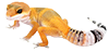 Geckos léopards