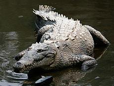 crocod10.jpg