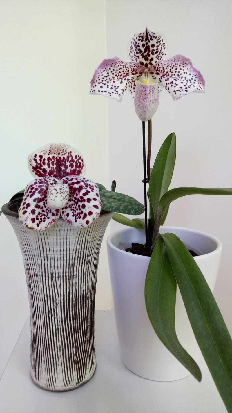 Spotted Paphiopedilum Slippertalk Orchid Forum The Best Slipper