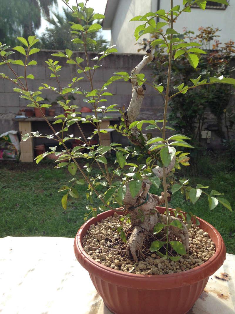 Recupero bonsai falso pepe forum di for Bonsai pepe